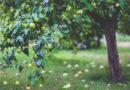 Fallfrukt som blir gastronomi