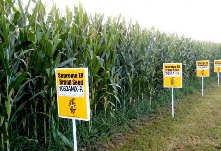 Kina nobbar USA:s genmodifierade majs