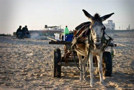 Gazas sophantering har kollapsat – nu används åsnekärror