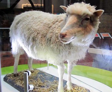Fåret Dolly var det första däggdjuret som föddes efter att ha klonats. Foto: Flickr/Shelley Bernstein/CC BY-NC-SA 2.0