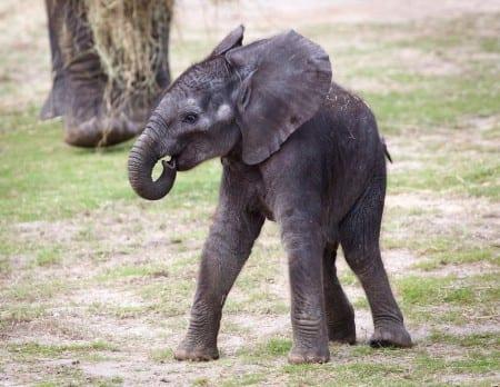 Foto: Afrikansk elefantunge. Matthew Paulson/CC BY-NC-ND 2.0