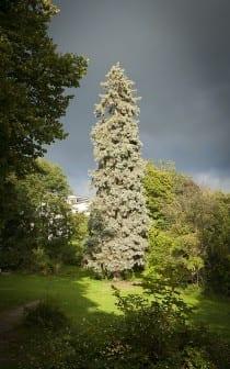 Barrträd har till skillnad ifrån de svenska lövträden en bredare genstam. Foto: Carlos Escobar/CC BY-NC-ND 2.0