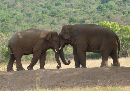 En av fem elefanter död inom tre år