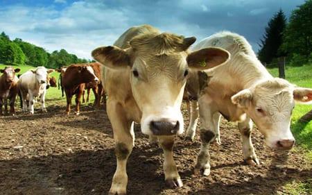 Lägre dödlighet för ekologiska kor