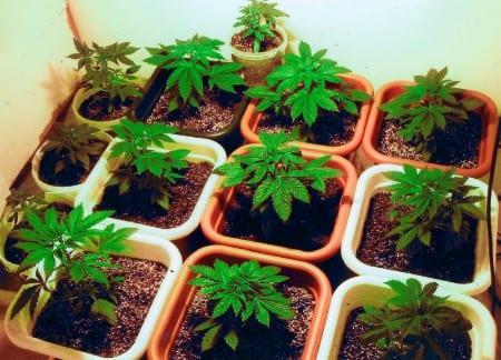 Odlade cannabis mot smärtan – frias