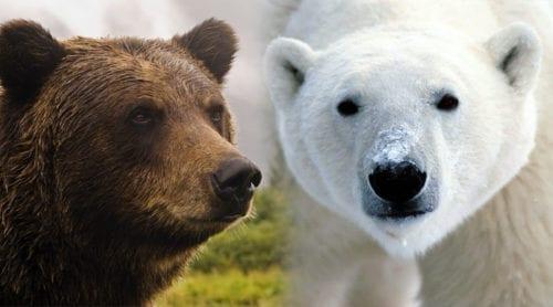 Isbjörnar hotas av ökad parning med grizzlybjörnar