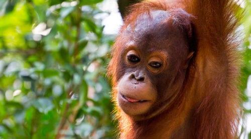 Fria orangutanger på Borneo