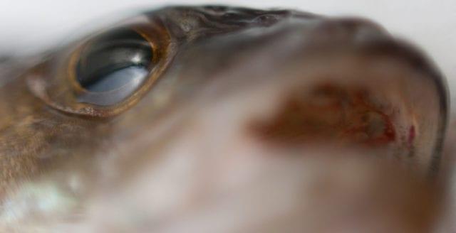 Antidepressiva läkemedel orsakar störningar hos fiskar
