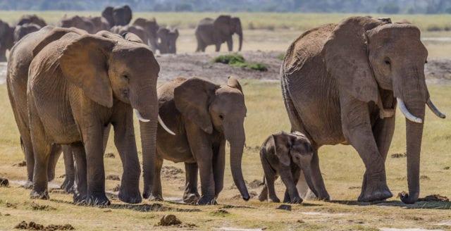 Jaktlicenser för elefant auktionerades ut i Botswana