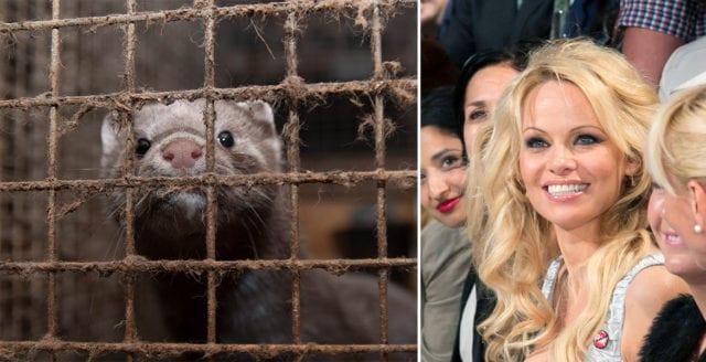 Pamela Anderson uppmanar Sveriges landsbygdsminister att förbjuda pälsfarmer