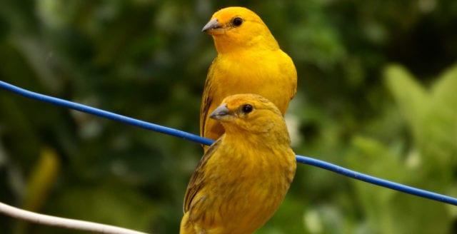 Kanariefågeln i strålningsdimman