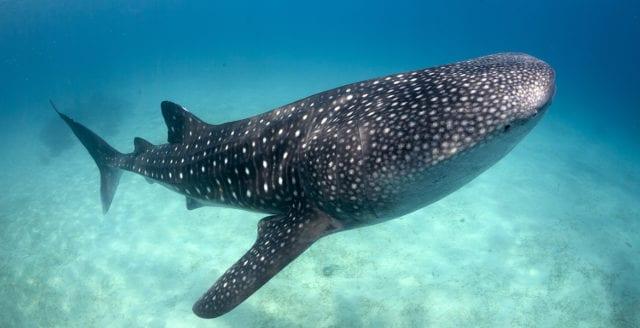 Världens största fiskart riskerar att utrotas