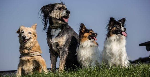 Svenska hundar hotas av inavel – forskare vill se mer genetisk variation
