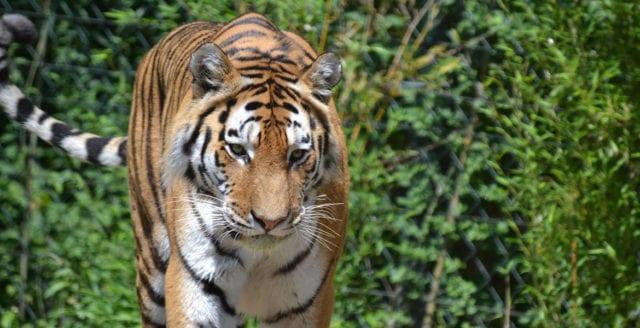 Utrotningshotad tigerstam har fördubblats i Nepal