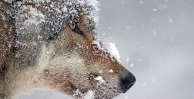 Tierp-vargen skjuten av polis