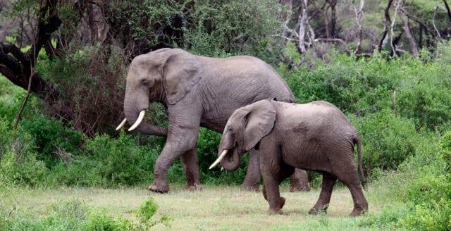 Ryssland skänker vapen till Gabon för att stoppa tjuvjakt på elefanter
