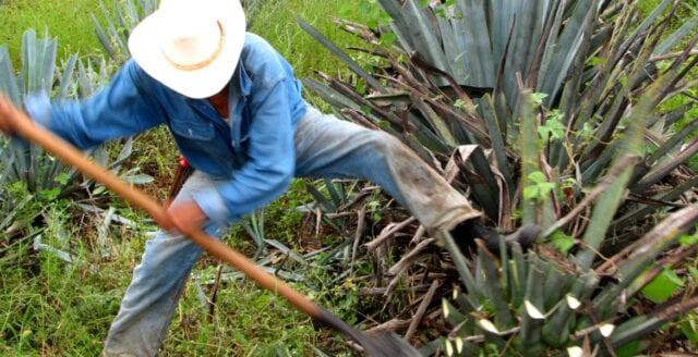 """""""Agave – klimaträddare och näringsrikt foder"""""""