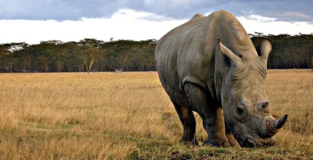 Färre noshörningar dödade av tjuvskyttar