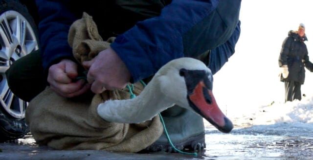 Gripande reportage om fågellivet i Malmö-regionen