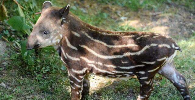 Nyfödd tapir ger hopp för Brasilien