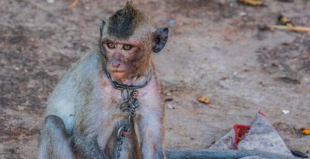 Apor används som slavar i Thailand