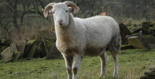Familj hittade sitt får slaktat och flått i hagen