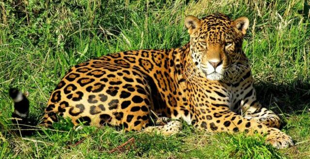 Forskare vill återintroducera jaguar i USA