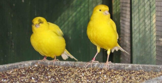 Kanariefågelns immunförsvar kickar igång – när den ser sjuka fåglar