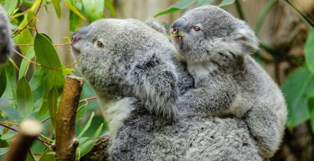 """AI ska """"känna igen"""" enskilda koalor"""