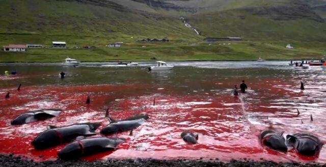 Djurrättsaktivister rasar över färöisk delfinslakt