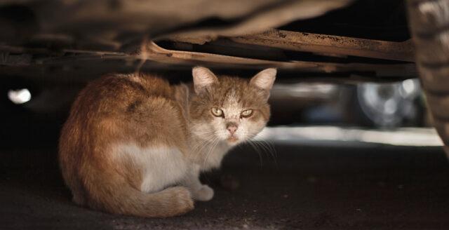 Regeringen vill märka och registrera katter